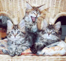 3 Maine Coon, Afrika Wurf the Fabulous
