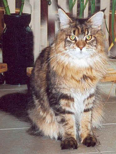 Mandela the Fabulous, Maine Coon brown-classic-tabby